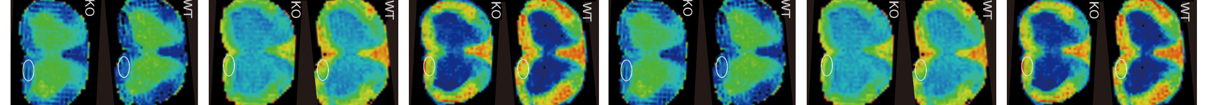Figure 3. Diffusion tensor imaging in the spinal cords of WT and cerebroside sulfotransferase knock-out (CST-KO) mice.