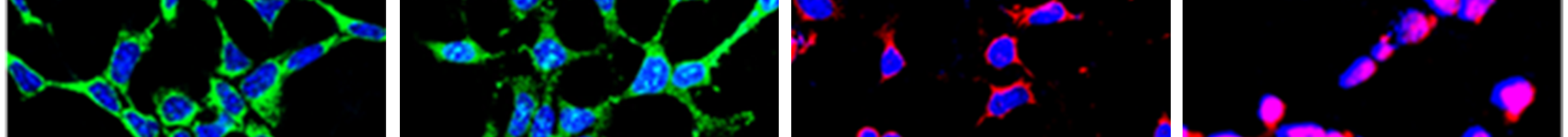 Figure 3. Expression of oligodendrocyte-specific cell type markers in F3.Olig2 cells and expression of motor neuron-specific cell type markers in F3.Olig2-Shh cells.