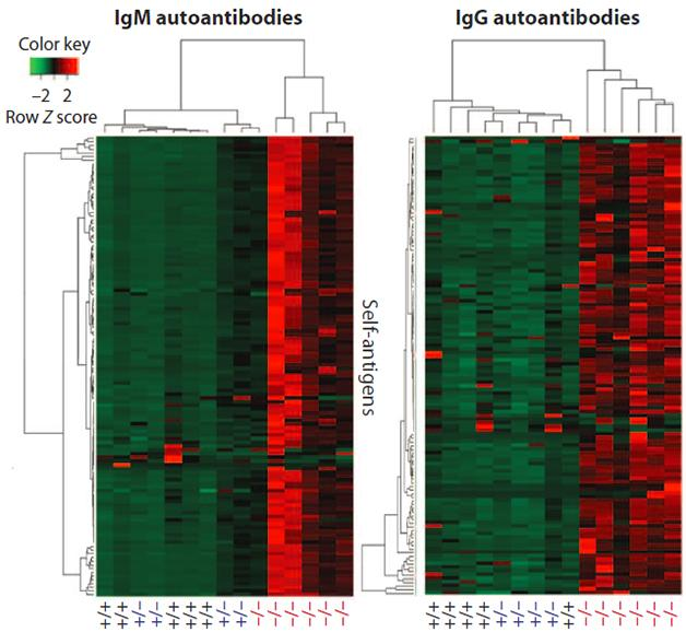 Autoimmune Profile. Plasma autoantibody levels reveal C9ORF72-homozygous knockouts (-/-), and some of the heterozygous (+/-) animals display a similar autoimmune profile for IgM autoantibodies, though not IgG. [Image courtesy of Burberry et al., Science Translational Medicine 2016.]