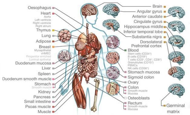 Epigenome Laid Bare. Researchers deciphered the epigenomes of 111 different tissues, including eight regions of the brain. [Image courtesy of Roadmap Epigenomics Consortium et al., Nature.]