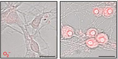 Fomenting Free Radicals. The fungicide fenamidone (right) damages mitochondria and pumps up production of reactive oxygen species (red) in mouse cortical neuron cultures (left). [Courtesy of Pearson et al., Nature Communications.]