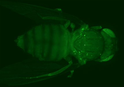 Peptides RAN amok in flies. A proline-glycine polydipeptide (green) born of RAN translation of C9ORF72 aggregates in the muscles of transgenic Drosophila. Image courtesy of Brian Freibaum, St. Jude Children's Research Hospital, Memphis, Tennessee.